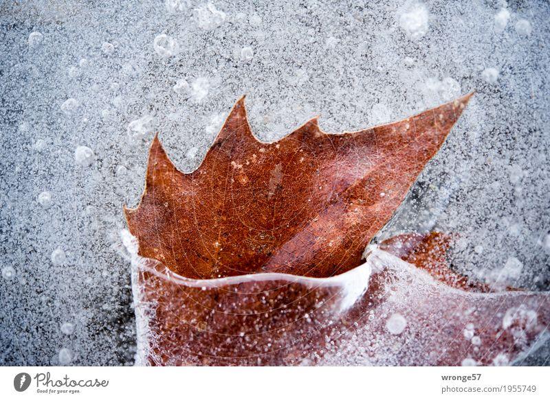 Eingeschlossen II Natur Winter Eis Frost Blatt Teich See kalt braun grau weiß Zacken Farbfoto Gedeckte Farben Außenaufnahme Nahaufnahme Detailaufnahme