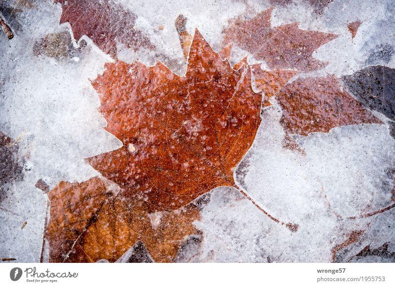 Eiszeit | glasklar I Natur Pflanze Winter Blatt Teich See fest kalt natürlich braun grau weiß Frost Zacken gefroren durchsichtig Querformat Zentralperspektive