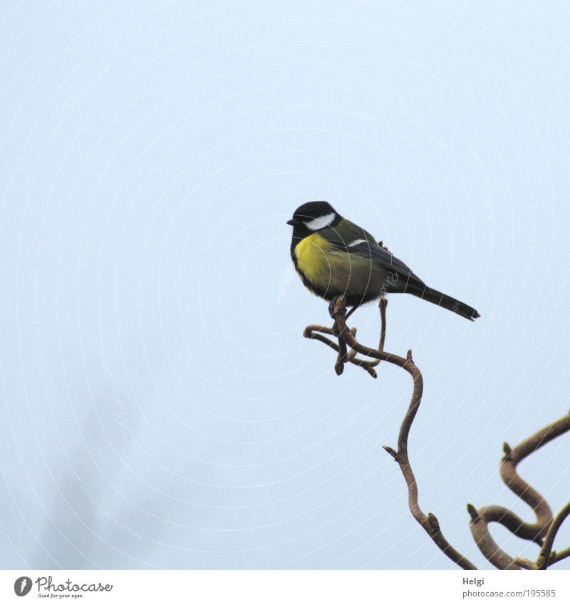 Spitzenreiter Himmel Natur blau weiß schön Tier schwarz gelb Leben Freiheit klein Garten braun Vogel warten Wildtier