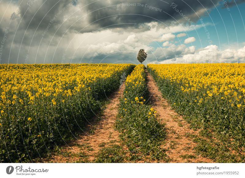 Wege Natur Landschaft Erde Himmel Wolken Frühling Klima Wetter Schönes Wetter Pflanze Nutzpflanze Rapsfeld Rapsblüte Feld berühren Bewegung Duft entdecken