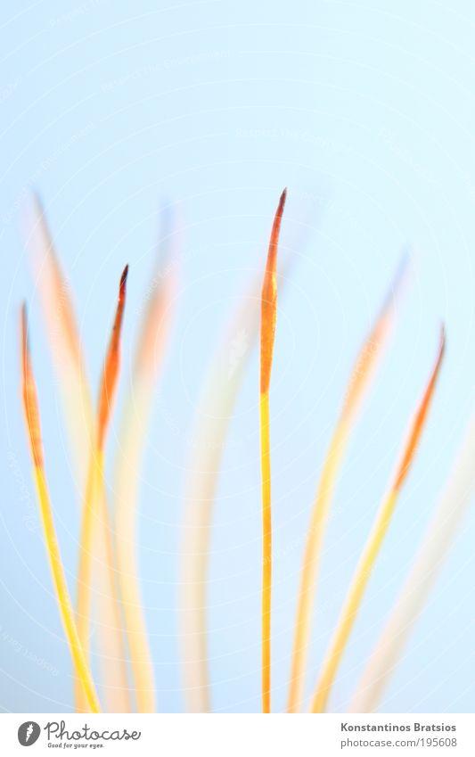 Calyptra 2010 #02 Natur blau schön Pflanze gelb klein Frühling hell orange Hintergrundbild elegant ästhetisch Wachstum weich Spitze dünn