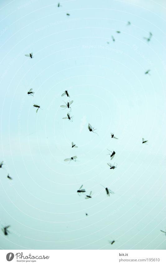 IM HIMMEL Luft Wolkenloser Himmel Tier Fliege Spinnennetz Insekt Tiergruppe hängen blau Schmerz gefährlich Insektenschutz Tod Stechmücke Mückenplage Schnake