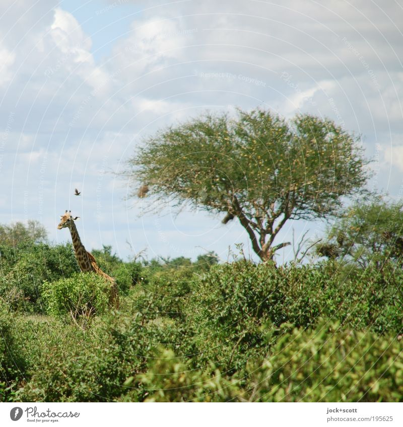 Giraffe taucht auf grün Baum Wolken Tier Umwelt Wärme Wege & Pfade natürlich fliegen Vogel Idylle Wildtier Sträucher stehen Klima Neugier