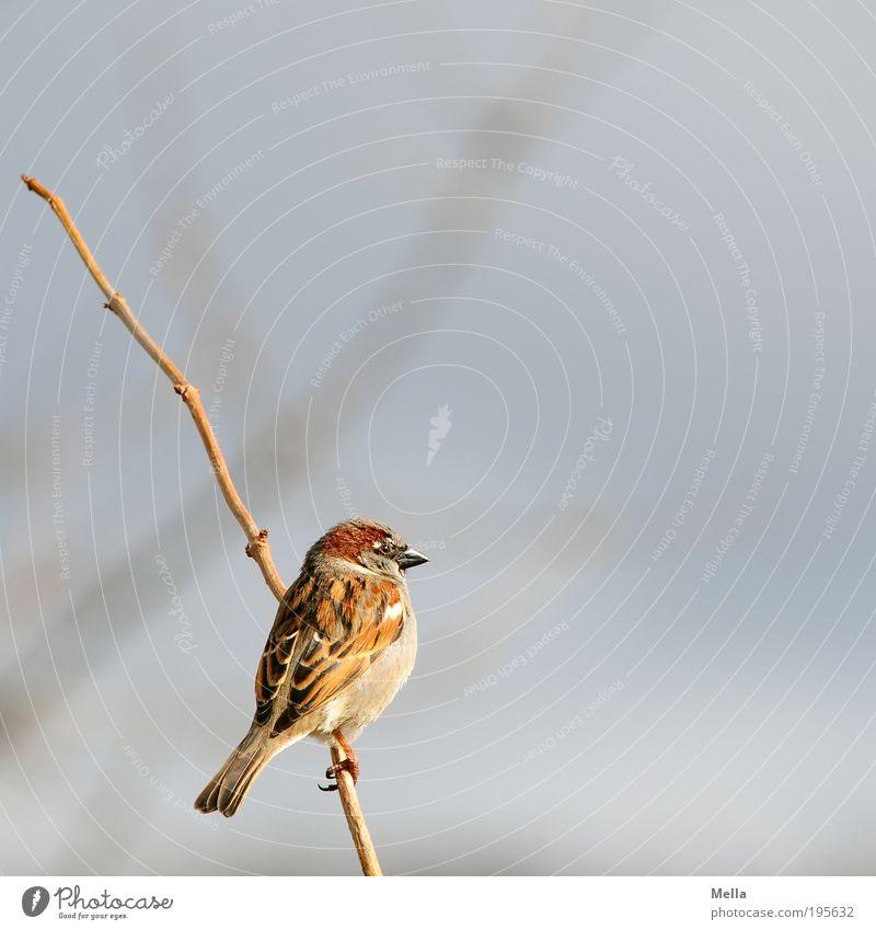 Winterspatz Umwelt Natur Tier Pflanze Sträucher Ast Wildtier Vogel Spatz 1 festhalten hocken sitzen frei klein natürlich niedlich Freiheit Farbfoto