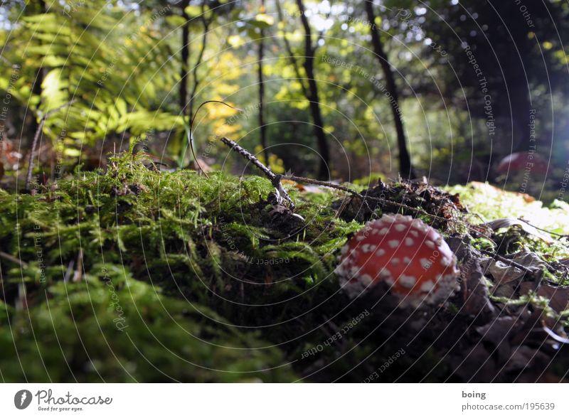 Standardpilz Hexe Umwelt Natur Pflanze Schönes Wetter Baum Gras Sträucher Moos Farn Wildpflanze Pilz Wald Käfer Spinne Schnecke Wurm wählen Wachstum positiv
