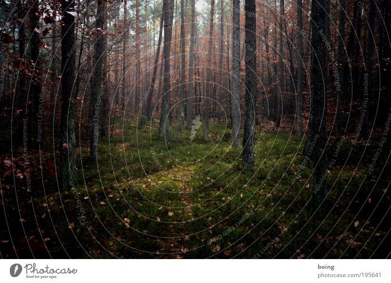 Heidelbeerwald Landwirtschaft Forstwirtschaft Einmachgewerbe Umwelt Natur Landschaft Pflanze schlechtes Wetter Baum Sträucher Moos Farn Nutzpflanze Wildpflanze