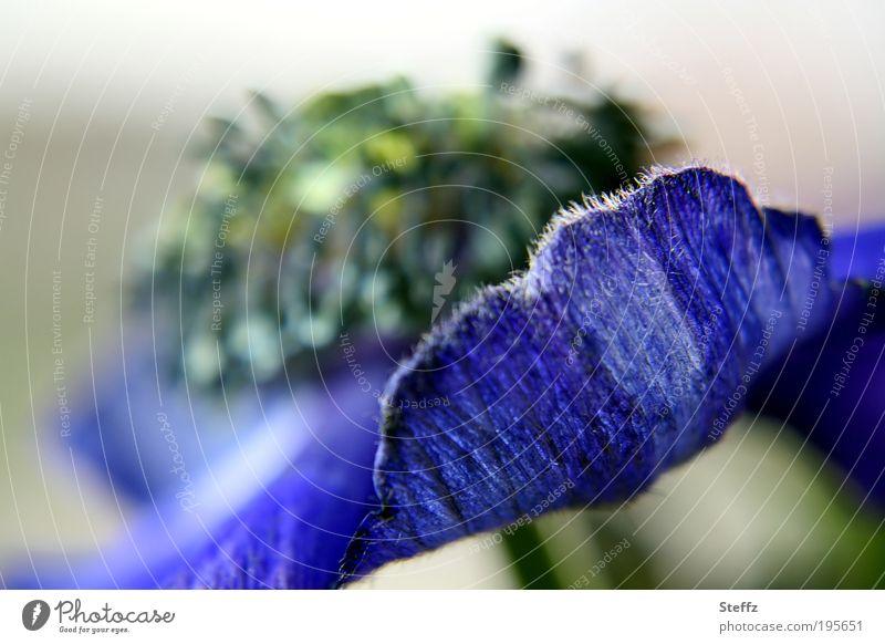 blaue Anemone blühende Anemone Frühlingsblüte anders Blütenblatt Frühlingsblume blühende Frühlingsblume blaue Blume einzigartig dekorativ romantisch dunkelblau