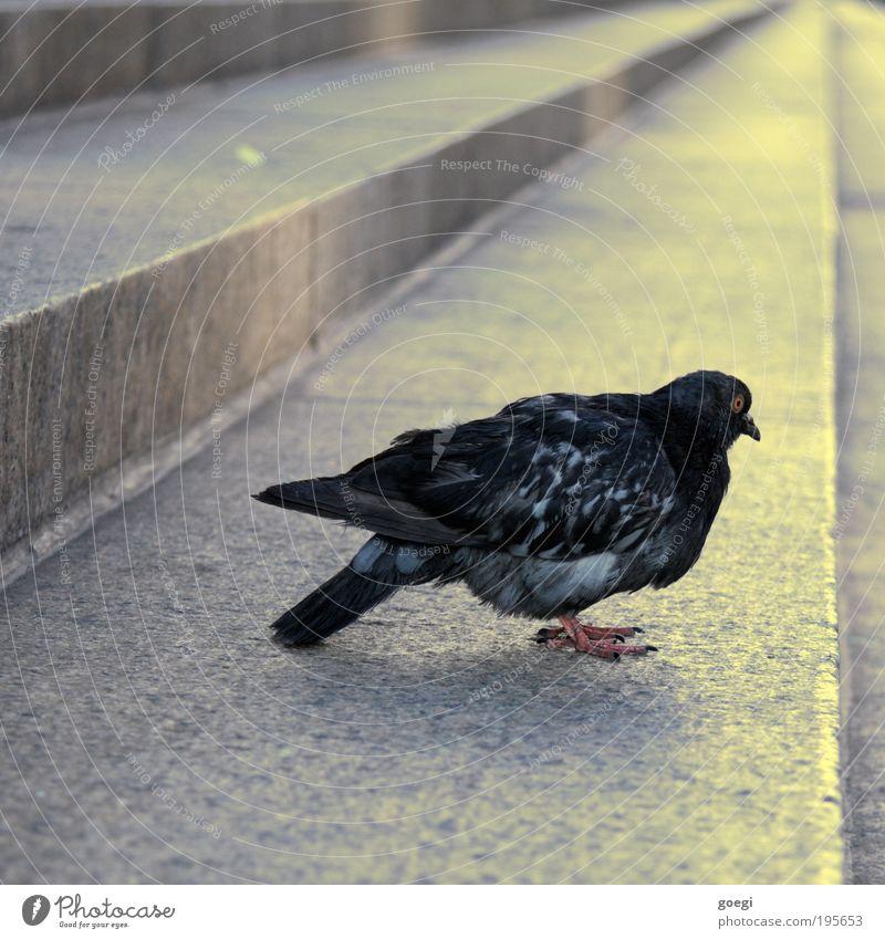 Vogel Perspektive Treppe Tier Taube Flügel 1 sitzen stehen gelb grau schwarz Starrer Blick Farbfoto Außenaufnahme Menschenleer Tag
