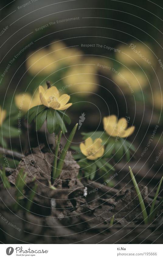 Winter(sch)linge(l) Natur grün schön Pflanze Blume Tier Blatt Umwelt Landschaft gelb Wiese Frühling Glück Blüte Park natürlich