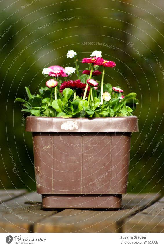 vergiss mein Tausendschönchen nicht Pflanze Sommer ruhig Wiese Frühling Garten Park Sträucher Idylle Blühend pflanzlich Textfreiraum links Wald Holztisch