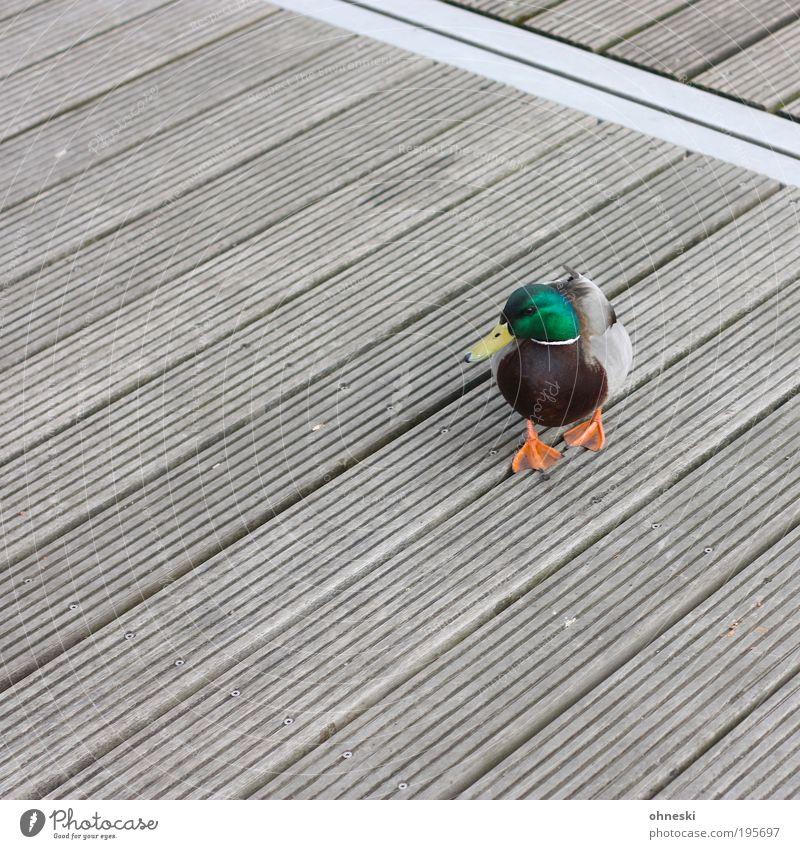 Osterente Umwelt Natur Tier Wildtier Vogel Ente 1 grün Steg orange Stockente Erpel Farbfoto mehrfarbig Außenaufnahme Muster Strukturen & Formen Menschenleer