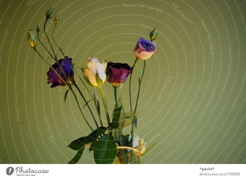 Mitbringsel schön weiß Blume grün ruhig Blatt Blüte Frühling träumen elegant Erfolg Rose ästhetisch Wachstum Romantik weich