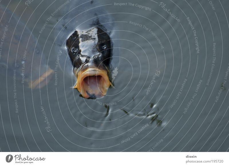Großmaul (Cyprinus carpio) Angeln Umwelt Natur Tier Wasser Teich See Fisch Karpfen Flosse Schuppen Maul Kopf 2 bedrohlich nass natürlich Gier Fressen auftauchen