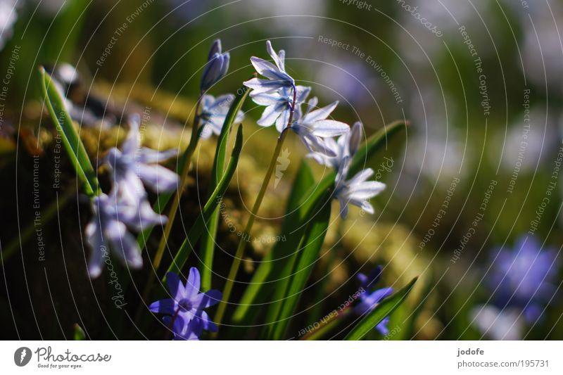 Frühling Natur weiß Blume blau Pflanze Blüte Frühling Park glänzend ästhetisch Wachstum rein Blühend Moos Schönes Wetter Umweltschutz