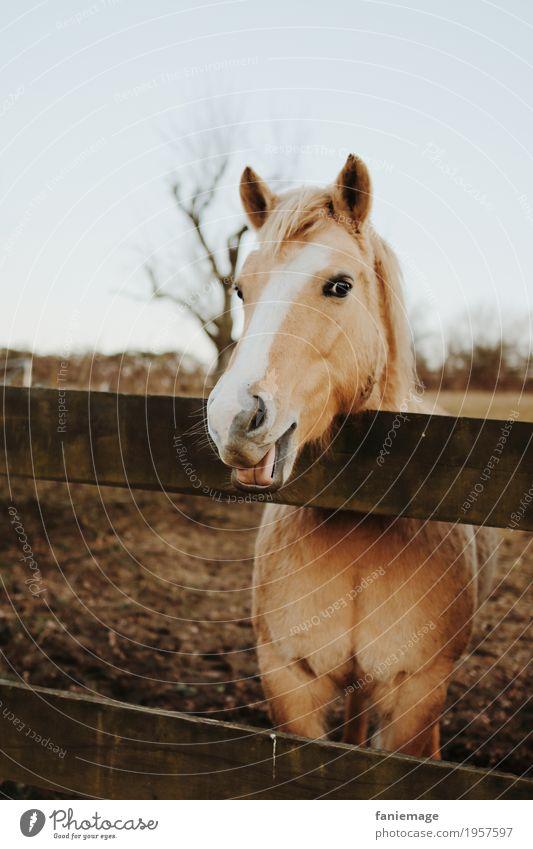 die hat gut lachen Tier Haustier Pferd Tiergesicht 1 füttern Reitsport Pferdekopf Pferdestall Pferdegebiss Zunge Porträt Tierporträt Smiley Lächeln lustig Weide