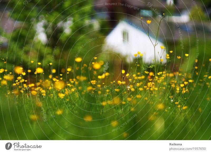 Blurry village scene with meadow buttercup flowers. Natur Pflanze Sommer grün weiß Landschaft Blume Haus ruhig gelb Frühling Wiese Gras Gebäude Garten frei