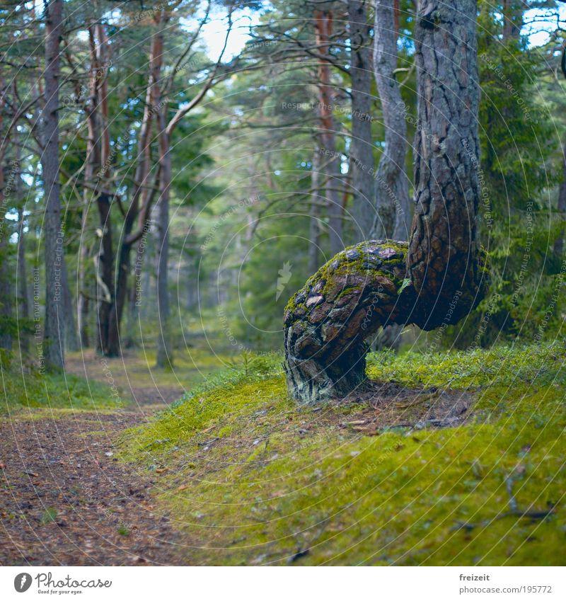 Geschwungene Pfade Natur Baum Moos Wald Wege & Pfade laufen außergewöhnlich Farbfoto Außenaufnahme Menschenleer Tag Schwache Tiefenschärfe