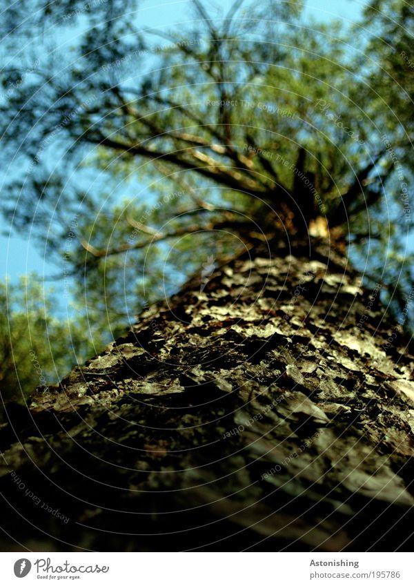 Rinde Umwelt Natur Landschaft Pflanze Himmel Frühling Sommer Wetter Schönes Wetter Wärme Baum Blatt Grünpflanze Nutzpflanze Wald stehen alt hoch rund blau braun