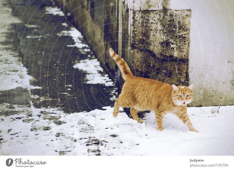 Miau! Katze weiß Stadt rot Winter Tier gelb kalt Schnee Gebäude Eis gehen elegant wild frei Frost