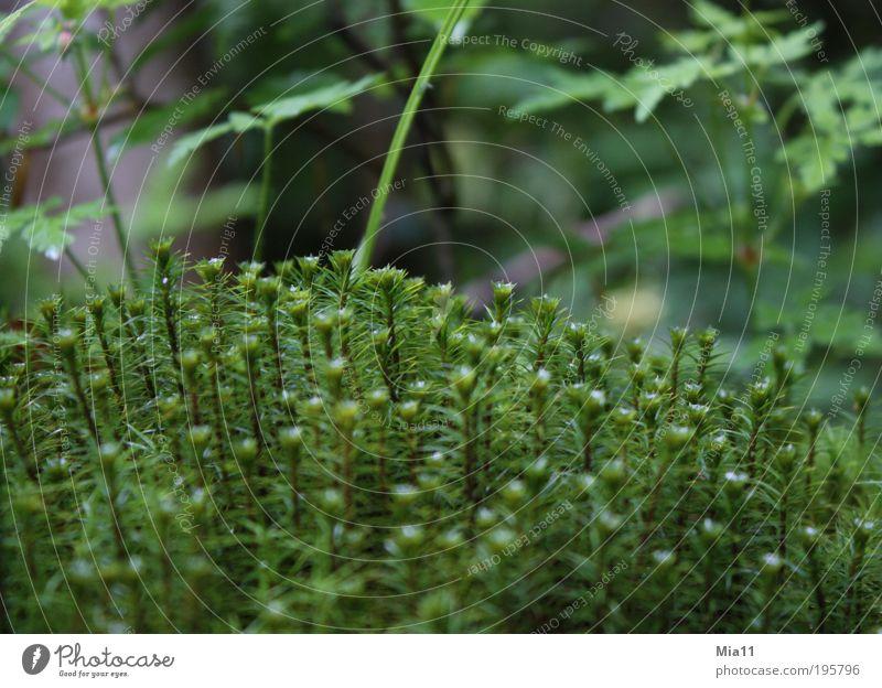 moosig Natur grün Pflanze Sommer Blatt Leben nass Wachstum Moos Wildnis Grünpflanze Wildpflanze Polster