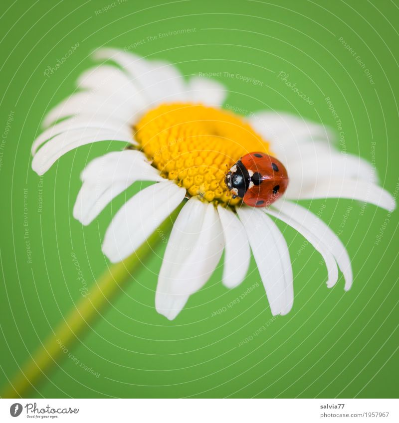 viel Glück! harmonisch Wohlgefühl Zufriedenheit Sinnesorgane Duft Valentinstag Muttertag Frühling Blume Margerite Tier Käfer Marienkäfer Siebenpunkt-Marienkäfer