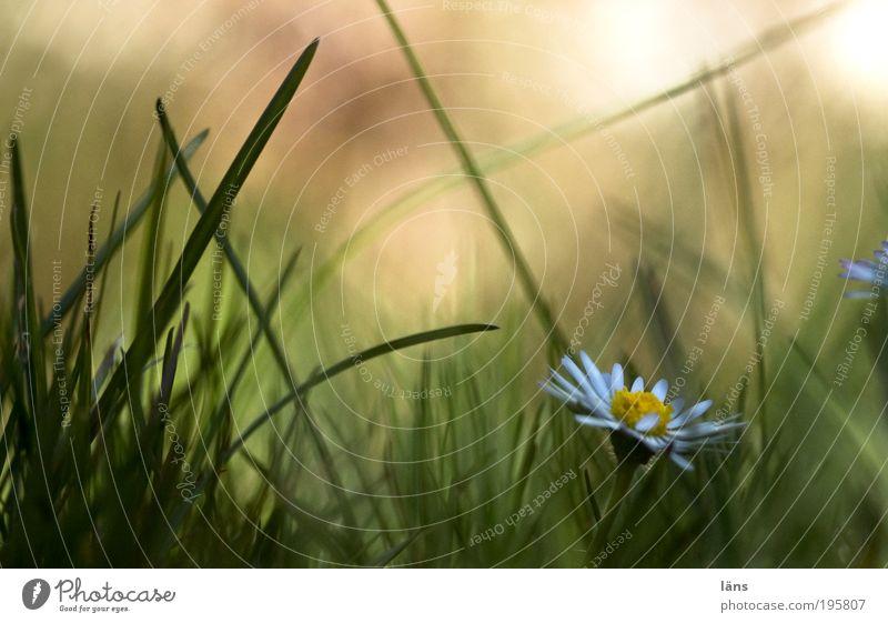 wo bist du Umwelt Pflanze Blume Gänseblümchen Gras grasgrün Graswiese Grasland Grasgeflüster Wiese Frühlingsgefühle Vorfreude Perspektive Biotop Farbfoto