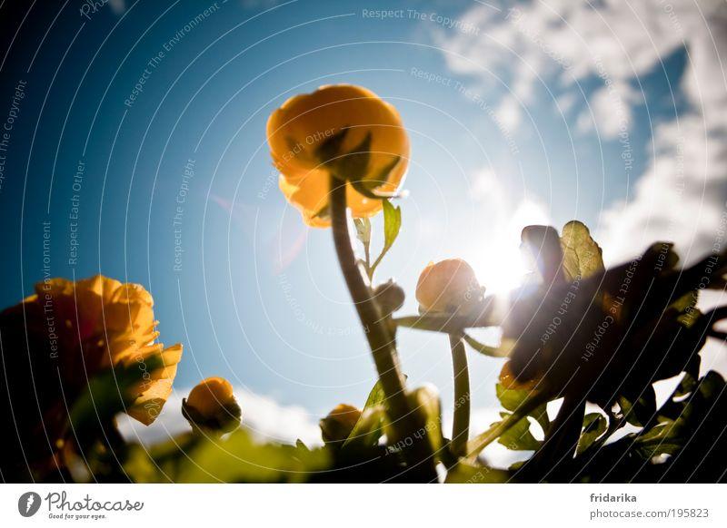 sonnenschein Himmel Wolken Frühling Schönes Wetter Blume Blatt Blüte Grünpflanze Ranunkel Balkonpflanze Blumenkasten Blühend Duft glänzend genießen leuchten