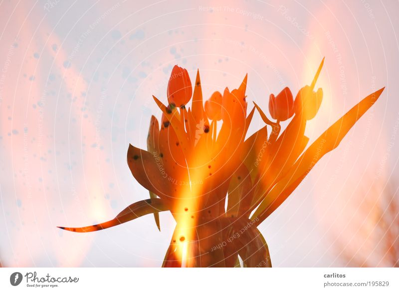 Heißes Oster-Bunny Blume Pflanze rot Blatt Blüte Wärme hell glänzend Feuer ästhetisch bedrohlich heiß außergewöhnlich Blühend leuchten Leidenschaft