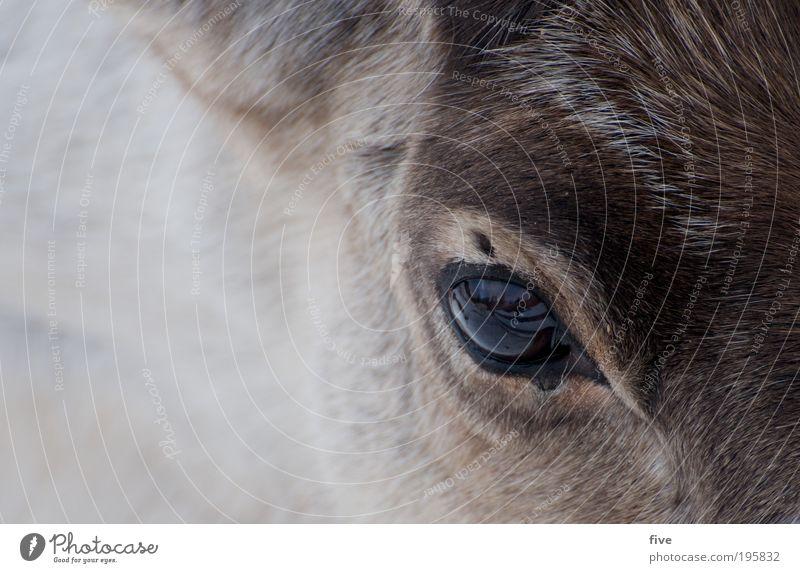 reindeer Kopf Haare & Frisuren Natur Tier Rentier füttern Freundlichkeit Fröhlichkeit hell schön wild Zufriedenheit Sympathie Fell Lappland Finnland
