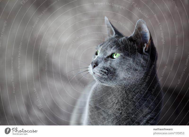 Bonnie Tier Haustier Katze Tiergesicht Fell 1 ästhetisch Neugier niedlich grau grün schwarz silber elegant katzenbild katzenfoto russisch blau rassekatze