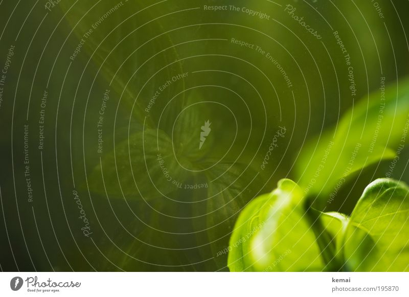 Wer ist der Schönste? grün Pflanze Blatt Lebensmittel Wachstum Ernährung leuchten genießen Kräuter & Gewürze Appetit & Hunger lecker Duft Abendessen Fensterscheibe Mittagessen Grünpflanze