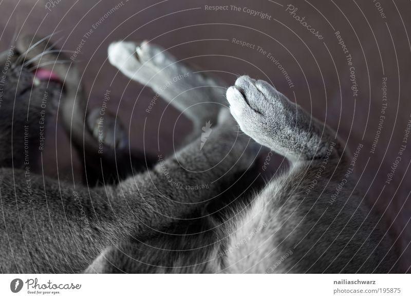 Putztag Katze schön Tier schwarz grau Zufriedenheit liegen ästhetisch Reinigen Sauberkeit Körperpflege silber Haustier