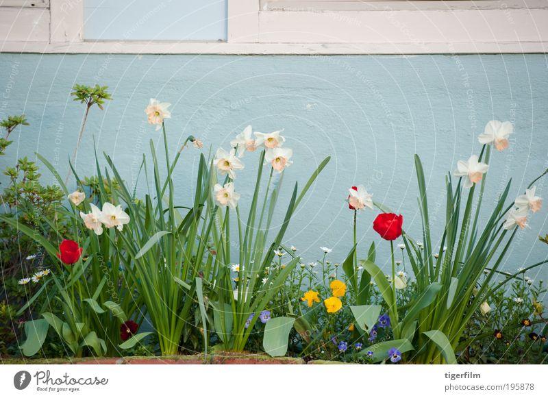 Frühlingsblumen an einer himmelblauen Wand Tulpe Narzisse Narzissen Blume Blatt Haus Stengel rot weiß Gänseblümchen Pflanze Garten; Symmetrie Stillleben Ordnung