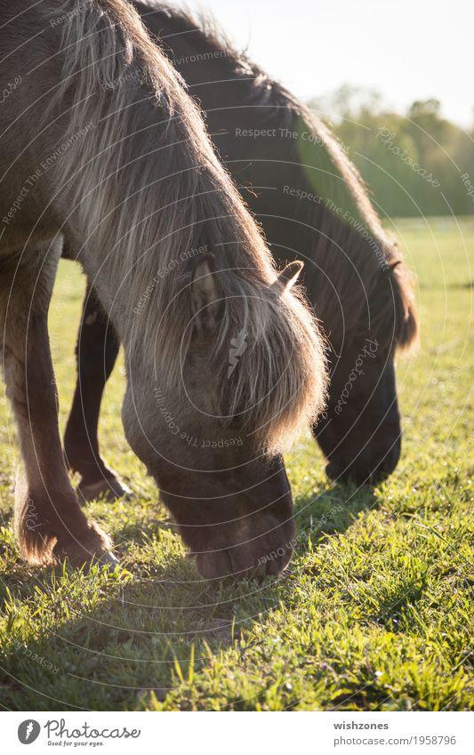 Grazing Icelandic Horses in sunlight Natur Ferien & Urlaub & Reisen Sommer grün Landschaft Tier ruhig Essen Wiese natürlich Gras grau braun Zusammensein