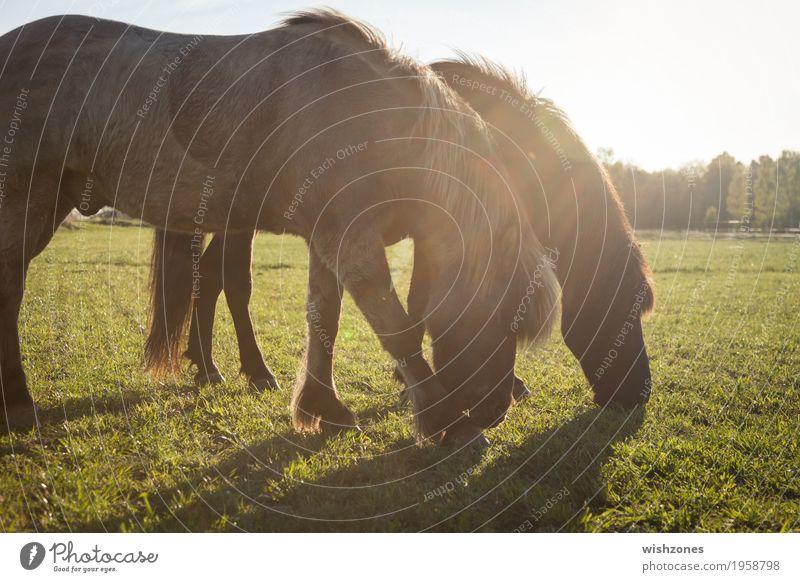 Two grazing Icelandic Horses on a green meadow in sunlight Freizeit & Hobby Reiten Ferien & Urlaub & Reisen Sommer Sommerurlaub Reitsport Natur Sonnenlicht