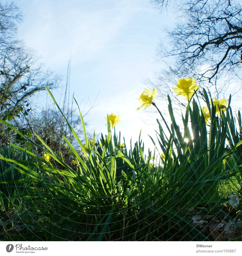 Narzissen oder auch Osterglocken! Lifestyle Duft Umwelt Natur Landschaft Pflanze Luft Himmel Wolkenloser Himmel Sonne Sonnenlicht Frühling Sommer Klima