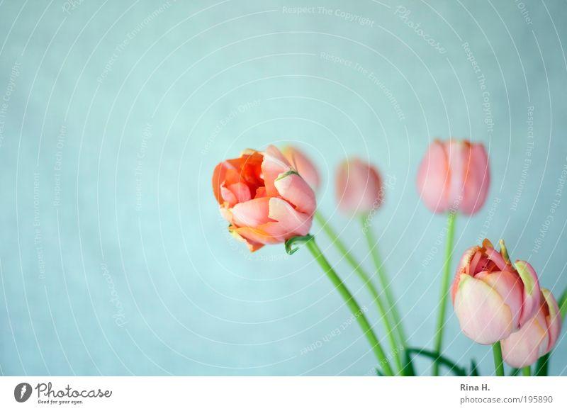 Tulpen - was sonst Lifestyle elegant Stil Muttertag Natur Pflanze Frühling Blume Blüte Blühend ästhetisch authentisch frisch natürlich blau rosa Glück