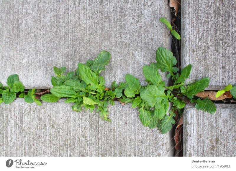 Leben im Beton Frühling Pflanze Blatt Grünpflanze Mauer Wand kämpfen Wachstum ästhetisch fest frisch natürlich oben stark grau grün Kraft Tatkraft standhaft