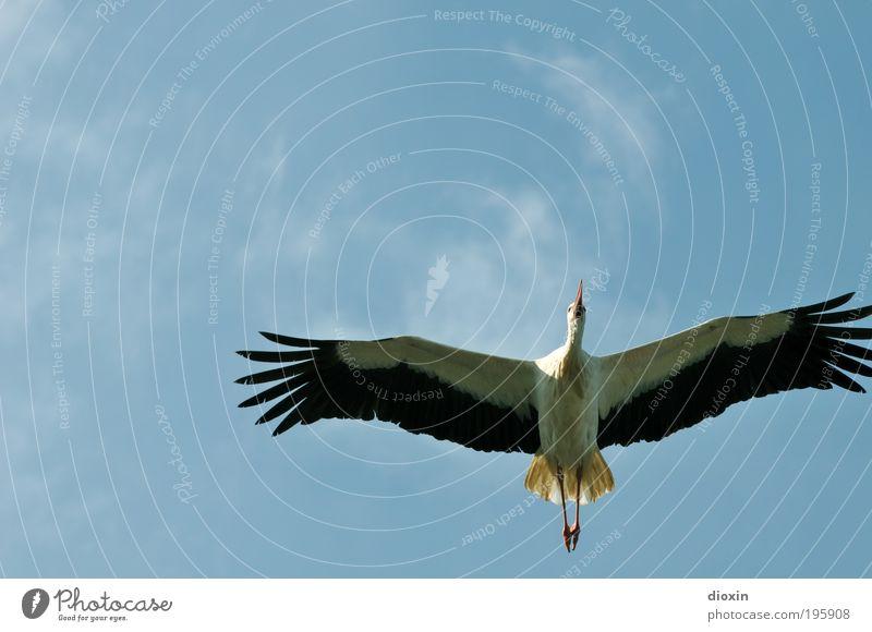 Überflieger (Ciconia ciconia) Natur Himmel weiß blau Sommer schwarz Wolken Tier Bewegung Frühling Freiheit Vogel Umwelt fliegen groß hoch