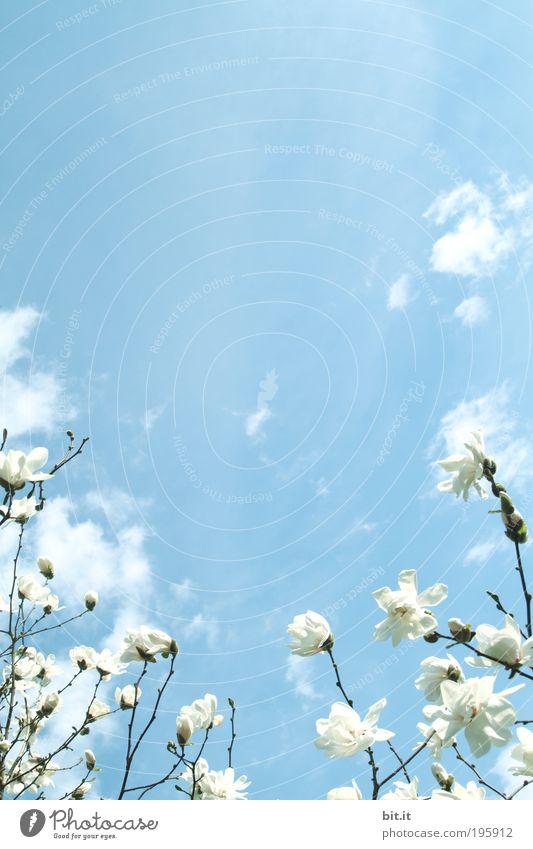 MAGNOLIACEAE-NIMBUS Natur Himmel Pflanze Sommer Blatt Wolken Blüte Frühling Luft Wetter Wachstum Klima aufwärts Schönes Wetter Blume Zweig
