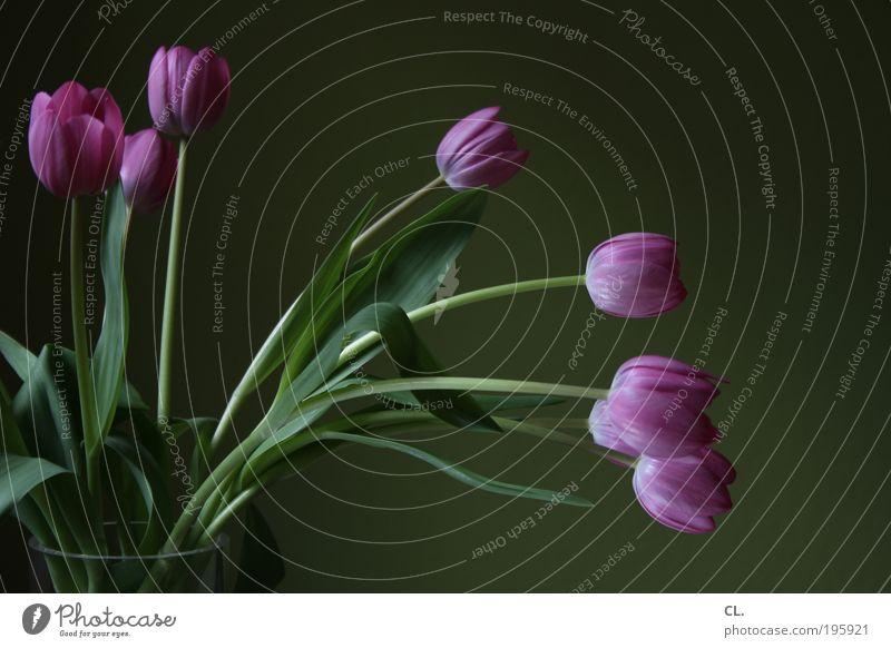 tulpen gehen immer Wohnung einrichten Dekoration & Verzierung Raum Natur Frühling Pflanze Blume Tulpe Blatt Blüte Vase ästhetisch Duft schön natürlich grün rosa