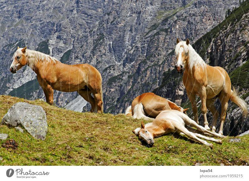 Ruhende Haflinger Tier Nutztier Pferd Fohlen 4 Tiergruppe Herde Tierjunges Tierfamilie liegen schlafen stehen groß schön braun weiß Zufriedenheit Tierliebe