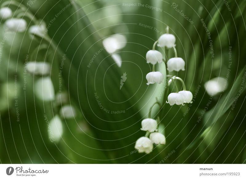 Maiglöckchen Natur grün weiß Blume Blatt Blüte Frühling frisch Duft Gartenarbeit Frühlingsgefühle Gift Muttertag Frühlingsblume Gärtnerei
