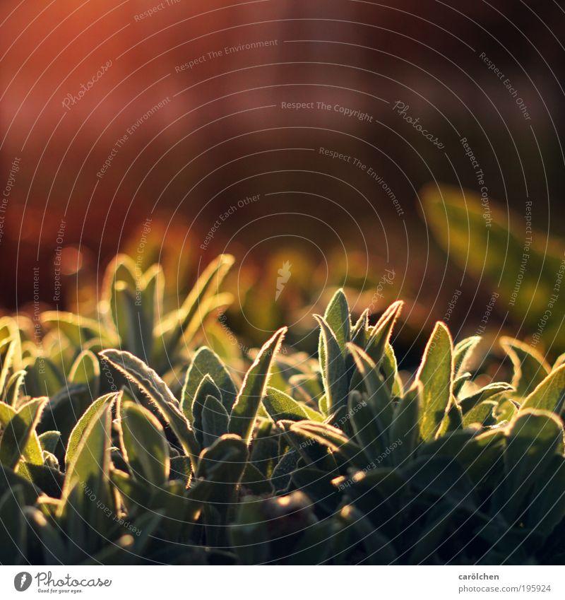 Licht, endlich... Natur Pflanze Tier Sonne Sonnenaufgang Sonnenuntergang Sonnenlicht Schönes Wetter Wärme Blatt Grünpflanze Park Wiese glänzend natürlich