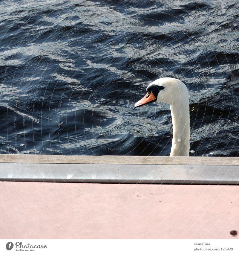 schwa·nen, schwa·nte, ge·schwant Wasser Wellen Meer Tier Schwan eckig blau rosa weiß Coolness Überraschung Gelassenheit Steg Hals ignorieren Wegsehen Farbfoto