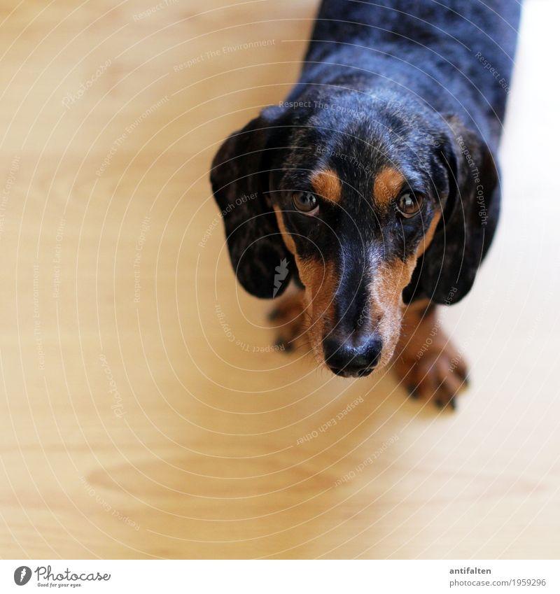 Ich bin's, der Carlson! Hund Tier schwarz Auge natürlich braun Wohnung Häusliches Leben ästhetisch einzigartig beobachten niedlich Freundlichkeit Neugier Nase