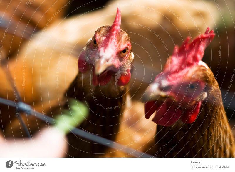 Soll ich? Soll ich nicht? Bauernhof Landleben Tier Nutztier Tiergesicht Haushuhn Hahnenkamm Auge 2 Tiergruppe Tierpaar Fressen warten braun grün rot