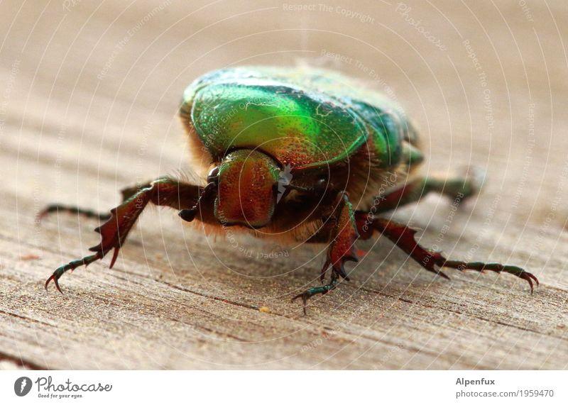 Alien-Bug Tier Wildtier Käfer Krallen Rosenkäfer 1 krabbeln gruselig Tierliebe Neugier Interesse Angst Außerirdischer Farbfoto Außenaufnahme Textfreiraum oben