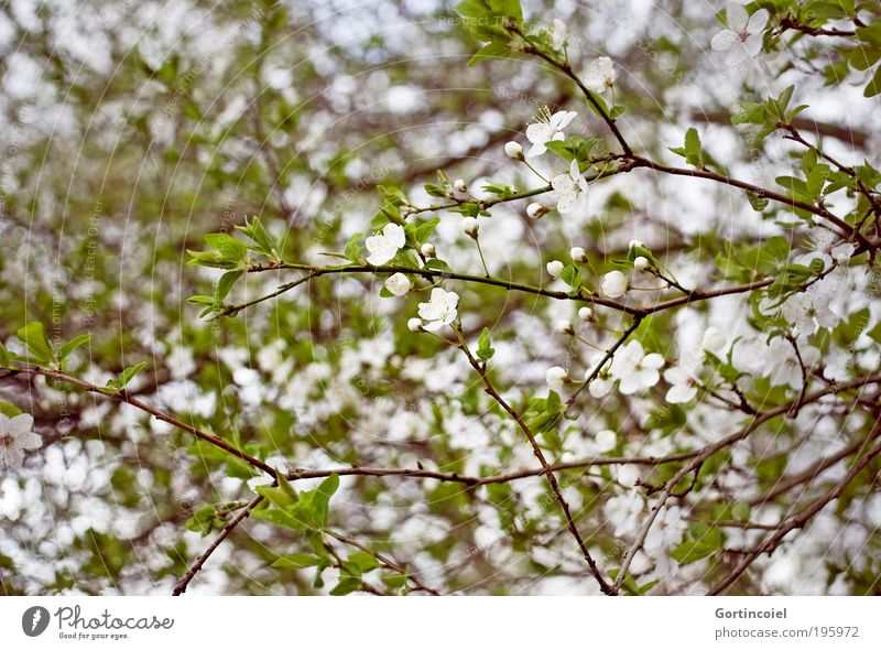 Frühlingswirrwarr Natur weiß grün schön Pflanze Blatt Umwelt Frühling Blüte Park Wachstum Fröhlichkeit Sträucher Jahreszeiten Lebensfreude Duft