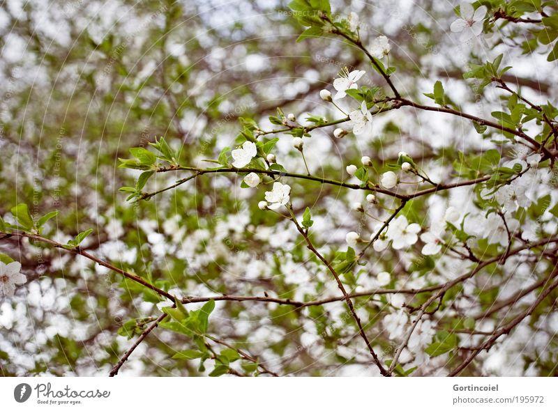 Frühlingswirrwarr Umwelt Natur Pflanze Sträucher Blatt Blüte Park Duft Fröhlichkeit schön grün weiß Frühlingsgefühle Frühlingstag Blütenknospen Zweige u. Äste
